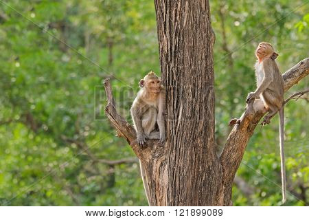 Two monkeys with long tails sitting on different tree branch in the forest during summer