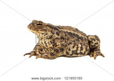 European Common Toad On White