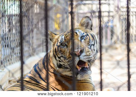 Tiger In Cage Of The Zoo