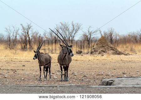 Gemsbok, Oryx Gazella On Waterhole