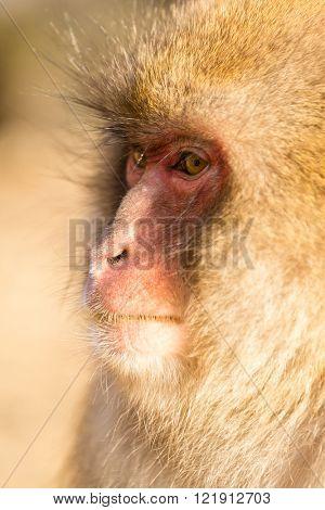 Side profile of snow monkey