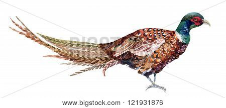 Watercolor Swinhoe pheasant isolated on white background. Hand painted illustration