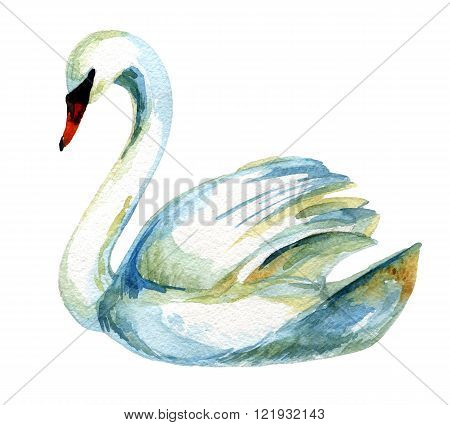 Watercolor swan isolated on white background. Hand painted illustration
