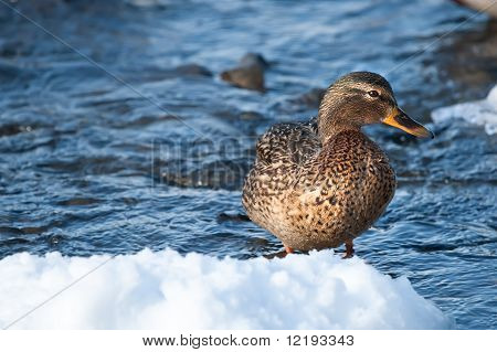 Grey duck in a river winter sunny day poster