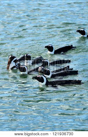 Jackass Penguins, Namibia, Africa