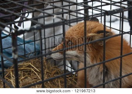 cute red fox sitting in the cage