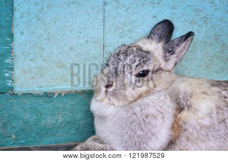Cottontail bunny rabbit sitting against blue wooden door, with place for your text