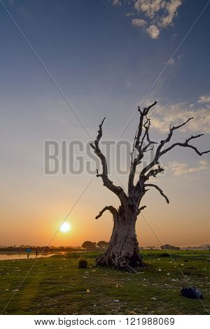 Dead tree not far from the U-Bein bridge. Mandalay, Myanmar (Burma)