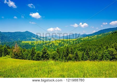 mountain meadow grasses with a range of fir trees on the hillside under clear blue sky with few clouds