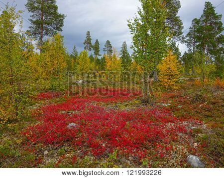 northern autumn colors of the taiga (ruska) finnish lapland