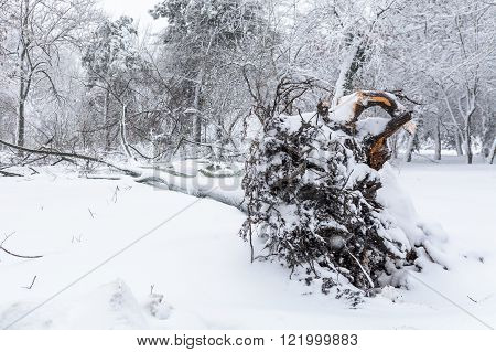 The Root Of A Fallen Tree In The Park In Winter. Broke Down Tree On The Severity Of Fallen Snow.