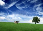 one cow in a grass field poster