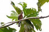 spotted dove poster