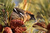 White-winged Crossbill (Loxia leucoptera) eating pine cones poster
