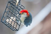 Red bellied woodpecker (Melanerpes carolinus) eating seeds from winter feeder poster