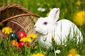 Easter bunny on a beautiful spring meadow with dandelions in front of a basket with Easter eggs poster
