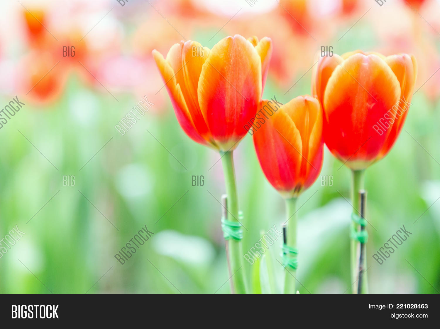 Beautiful tulip flower image photo free trial bigstock beautiful tulip flower and green leaf background in tulip garden at winter or spring day for izmirmasajfo