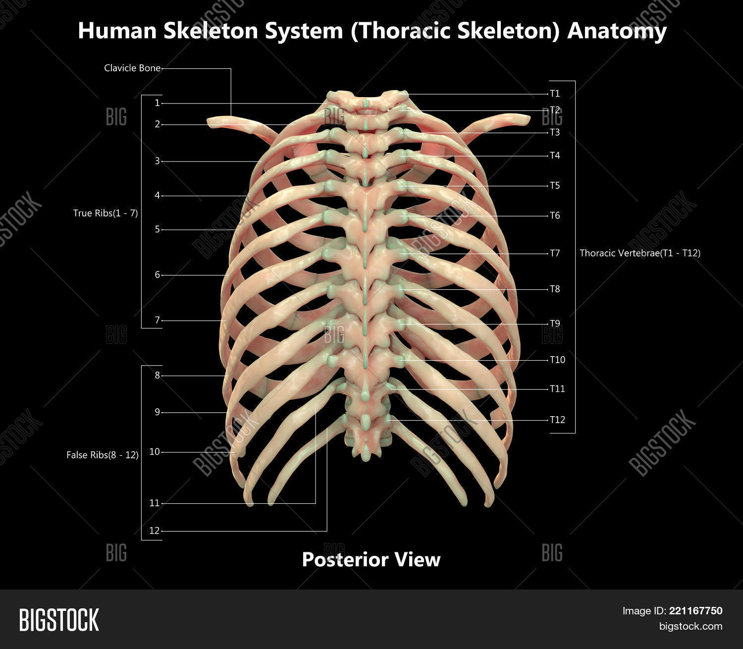 Human Skeleton System Image & Photo (Free Trial) | Bigstock