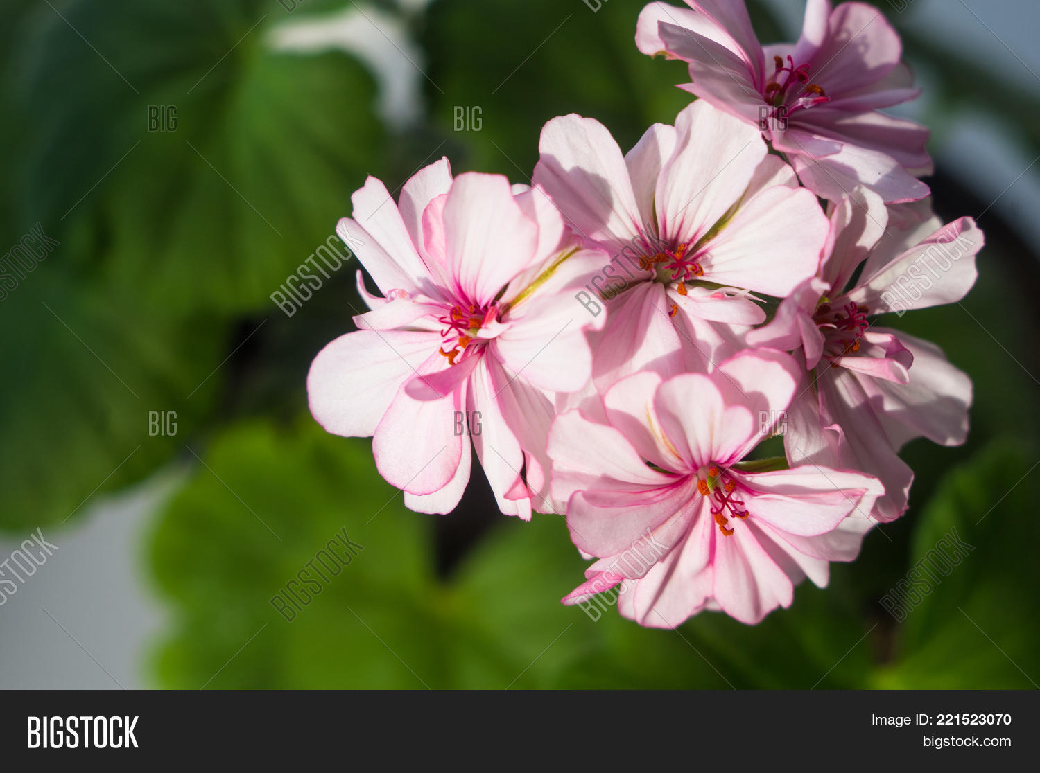 Lovely Pink White Image Photo Free Trial Bigstock