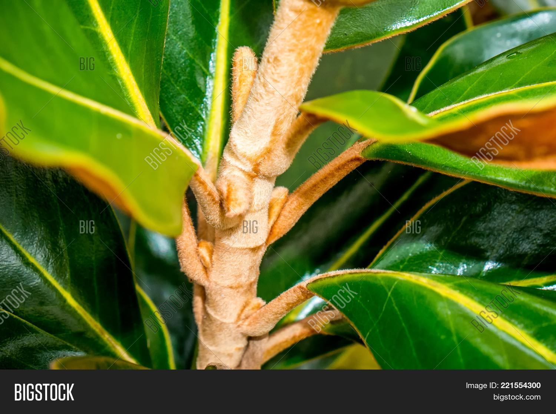 Water Drop On Magnolia Image Photo Free Trial Bigstock