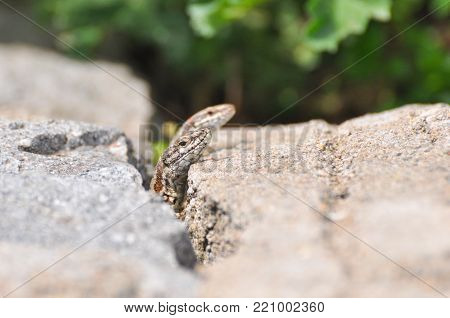 Podarcis muralis, Common wall lizard on stone wall
