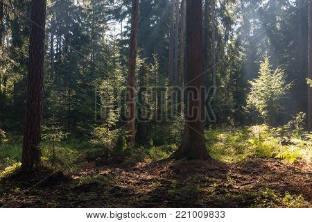 Old coniferous stand in summer morning with pine and spruce trees, Bialowieza Forest, Poland, Europe