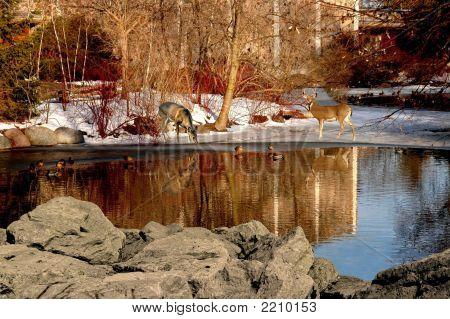 Deer Reflections