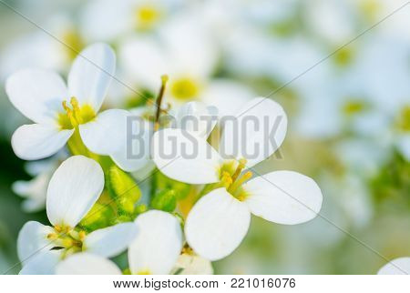 White flower on soft pastel color. Spring background.
