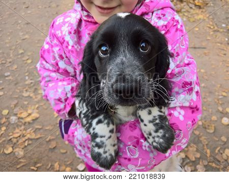 puppy dog breed English cocker spaniel in the hands of the owner in a pink jacket
