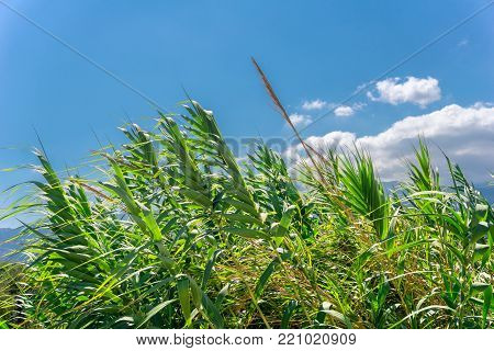 Close-up of in the wind blowing green Reeds in Summer. View to beautiful green Reeds on a sunny Day. Nature Backgrounds.
