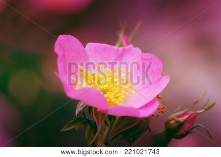 Pink rose hip flower macro dog rose. Close-up of a dog rose (wild rose) Rosa canina. Flower of dog rose (Rosa canina) - macro