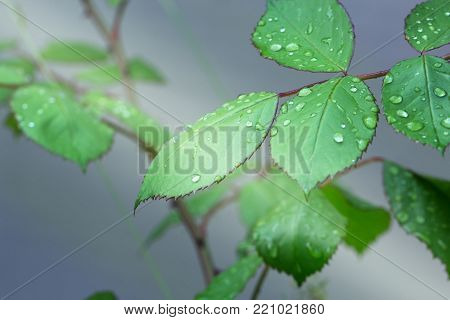 Close-up of green rose leaves with raindrops. background of dew drops on bright green leaf. green leaf with dew drops closeup. Nature Background