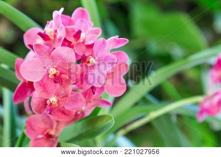 Orchid flower in orchid garden at winter or spring day for postcard beauty and agriculture idea concept design. Ascocenda Hybrids orchid. red orchid.