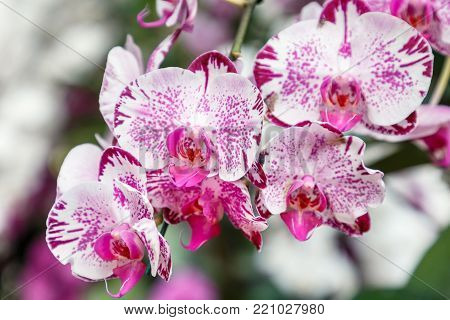 Orchid flower in orchid garden at winter or spring day for postcard beauty and agriculture idea concept design. Phalaenopsis Orchid or Moth Orchid.
