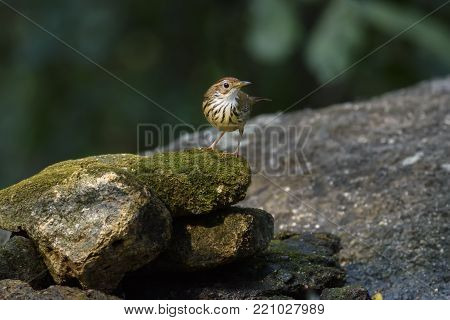Low key image of Puff-throated babbler or spotted babbler perching on stone , Thailand