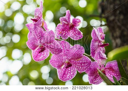Orchid flower in orchid garden at winter or spring day for postcard beauty and agriculture idea concept design. Vanda coerulea orchid. Pink orchid.