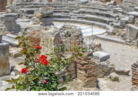 Rose bush and ruins of ancient town on background. Gortyna, Crete island, Greece