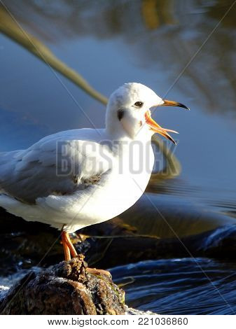 Black headed gull with an open beak perched on river debris