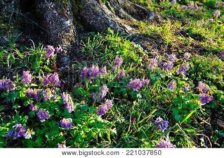 Spring forest landscape - blooming forest spring mauve flowers of Corydalis halleri under the tree in the spring forest, spring landscape with forest flowers. Colorful forest spring lanscape view