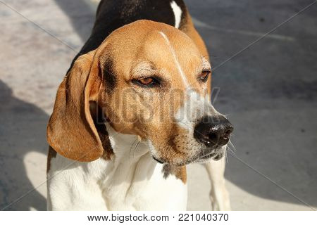 Close-up of the face of an American Fox Hound dog on a gray background.