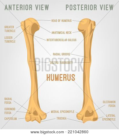 Human Humerus Bones Image. Vector Illustration Isolated On A White Background Useful For Creating Me