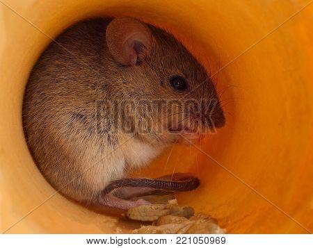 closeup field mouse ( Apodemus) eats grain inside of hole