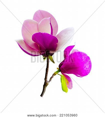 decoration of few magnolia flowers. pink magnolia flower isolated on white background. Magnolia. Magnolia flower.