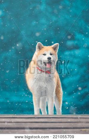 Portrait of Akita inu dog. Winter scene.