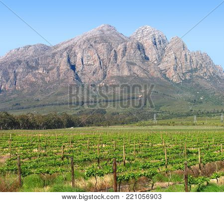 COUNTRY LANDSCAPE WITH GRAPE VINES IN THE FORE GROUND AND A MOUNTAIN IN THE BACK GROUND