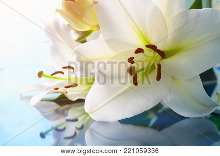 Flower background. Lily flower, Lilium Navona. Selective focus at the lily flower stamens. Spring flowers of lily, spring flower background in soft tones. Closeup of white lily spring flowers, natural flower background