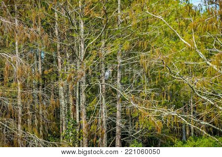 Flying Glossy Ibis