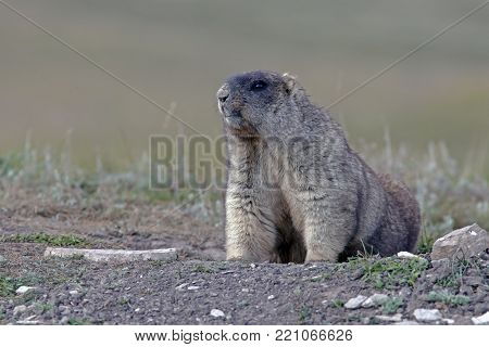 Big Furry Marmot In Steppe