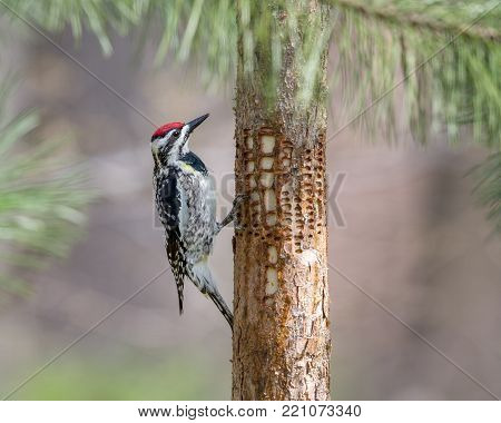 Yellow-bellied Sapsucker (Sphyrapicus varius) inspecting holes that it has drilled in a pine tree.  The woodpeckers feed on the sap that accumulates in the holes.  Close-up image with lots of detail.