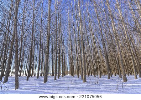 Barren trees stand tall in an orchard in winter on the Rathdrum Prairie near Coeur d'Alene, Idaho.